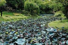 Lotus Leaves Growing Along verde el pantano imagen de archivo libre de regalías