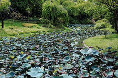 Lotus Leaves Growing Along verde o pântano imagem de stock royalty free