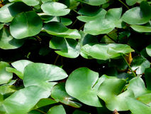 Lotus Leaves growing on the water Stock Photo