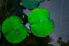lotus leaves in lake Stock Photo