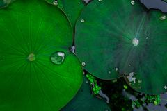 lotus leaves in lake Royalty Free Stock Image