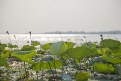 Lotus leaves and lotus flowers in a pond. Royalty Free Stock Photos