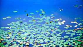 Lotus leaves over the lake, Rajasthan, India. Green and yellow lotus leaves covering the pond Stock Photo