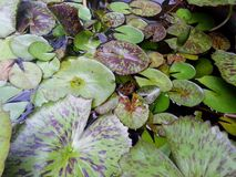 Lotus leaves in the planting pot Stock Image