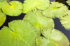 Lotus Leaves Stock Images