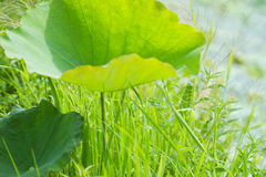 Lotus leaves in a pond Royalty Free Stock Photos