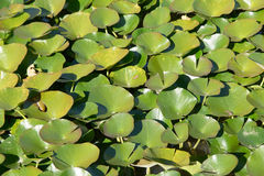 Lotus leaves in a pond Stock Photography