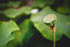 Lotus Leaves Stock Photography