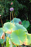 Lotus Leaves and Seed Pods Stock Image