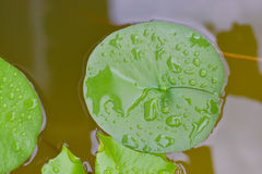 Lotus Leaves with spary water. Royalty Free Stock Photos