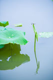 The lotus leaves stay dragonfly, Stock Photo
