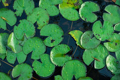 Lotus leaves in swamp Stock Image