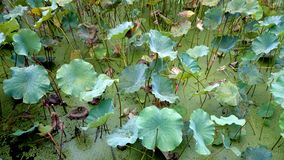 The lotus leaves are unfolding in the pool,The silt but not imbrued Stock Photos