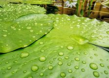 Lotus Leaves verde fresca com gotas de água Imagens de Stock Royalty Free