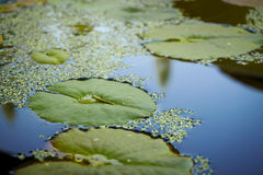 Lotus Leaves on Water. Focused one green Lotus leaf floating on water with reflection light from sky Royalty Free Stock Photography