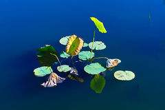 Lotus Leaves and water Stock Photography