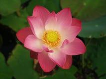 Lotus, les belles fleurs de l'eau Photo stock