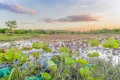 Lotus liście w jeziorze zdjęcie royalty free