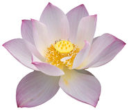 Lotus. Light pink lotus isolated on white background Royalty Free Stock Image
