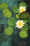 Lotus Lilies. Lotus flowers on lily pads Stock Images