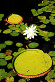 Lotus among lilly pads. A lotus flower and lilly pads in a pond Stock Photos
