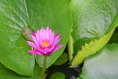 Lotus lilly purple on water beautiful Stock Images