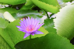 Lotus lilly purple on water beautiful Stock Photography