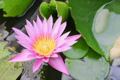Lotus lilly purple on water beautiful. Selective focus and soft background stock photos