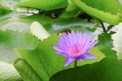 Lotus lilly purple on water beautiful. Selective focus and soft background stock photo