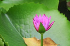 Lotus lilly purple on water beautiful Royalty Free Stock Photography