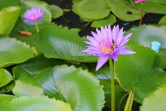 Lotus lilly purple on water Stock Images