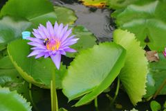 Lotus lilly purple on water Royalty Free Stock Image