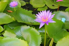 Lotus lilly purple on water Royalty Free Stock Images