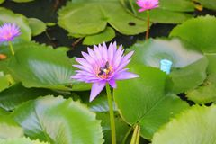 Lotus lilly purple on water Stock Photo
