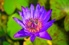Lotus lilor med biet Arkivbilder
