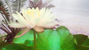 Lotus And Lily Cream Color.