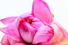 Lotus of Lily Flower royalty-vrije stock fotografie