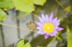 Lotus lily flower on water in rainy day Stock Images