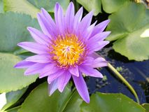 Lotus or lily, Nelumbo nucifera. royalty free stock photography
