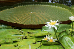 Lotus and Lily Pad. This is a lotus flower and giant lily pad in a botanical garden in Auckland New Zealand Royalty Free Stock Image