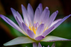 Lotus Lily Water Stockbild