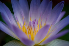 Lotus Lily Water Royalty Free Stock Photos