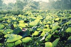 Lotus; lilypool del agua; agua-bien; charca Imagen de archivo