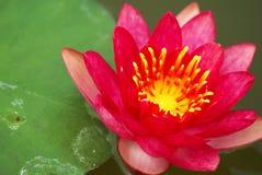 Lotus Linn de Nymphaea Image libre de droits