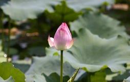 Lotus, lirio de agua con la plena floración en color rosado con la hoja verde en la charca Fotografía de archivo