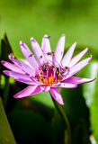 Lotus. Little bees is flying around purple lotus Royalty Free Stock Photography