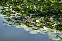 Lotus; lotos; lírio de água; candock; nenuphar; Foto de Stock Royalty Free
