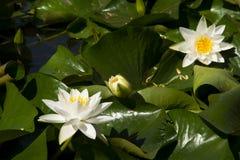Lotus; lotos; lirio de agua; candock; nenuphar; Imágenes de archivo libres de regalías