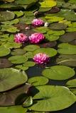 Lotus; lotos; lírio de água; candock; nenuphar; Fotos de Stock