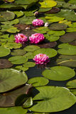 Lotus; lotos; näckros; candock; nenuphar; Arkivfoton